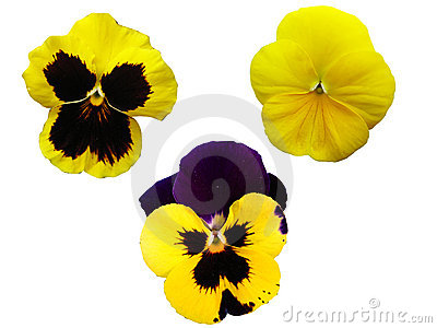 Three isolated pansies