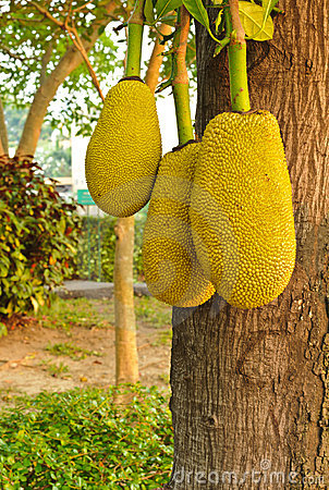 Three jackfruits