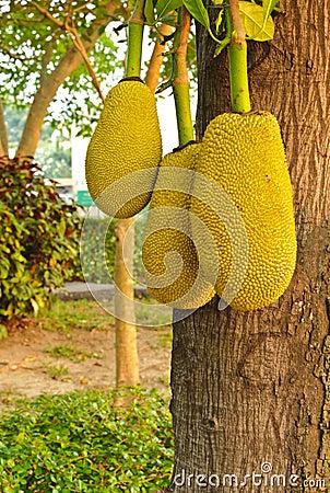 Three jackfruits