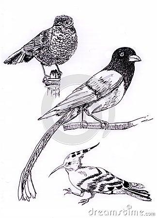Three kind of bird sketch painting illustration