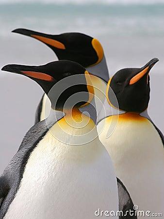 Free Three King Penguins, Falkland Islands Stock Photos - 26778323