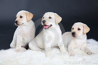 Three Labrador puppies