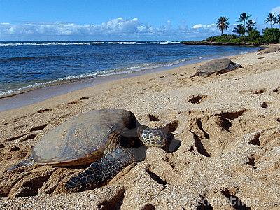 Three Large Green Sea Turtle sunbath