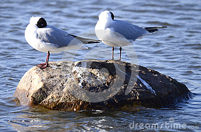 Three Larus minutus on a rock