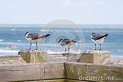 Three Laughing Gulls