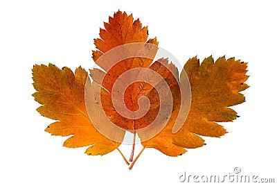 Three leaf of a rowan-tree