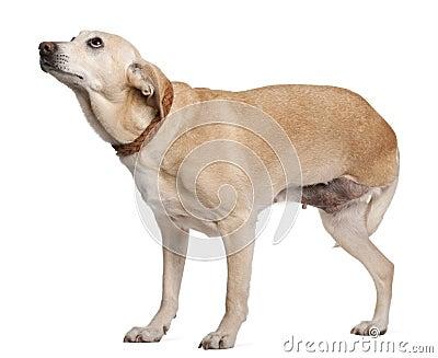 Three legged mixed-breed dog, 11 years old