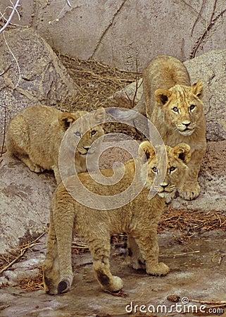 Free Three Lion Cubs Stock Image - 503421