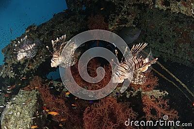 Three lionfish