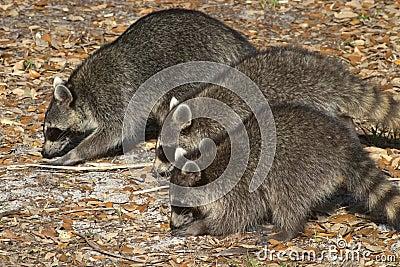 Three Little Bandits