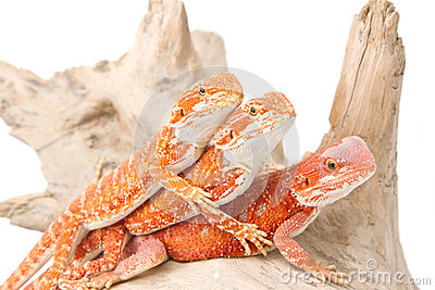 Three little bearded dragons