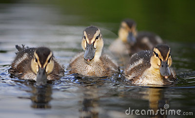 Three little ducklings