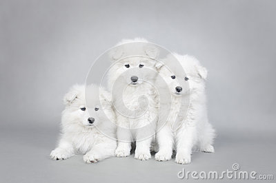 Three little Samoyed  puppies portrait
