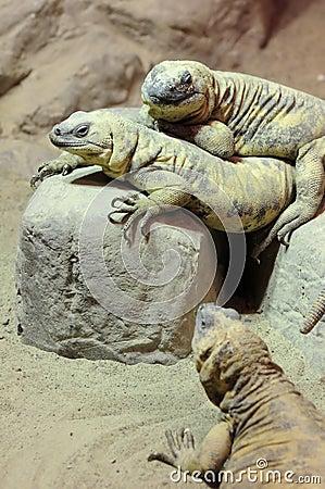 Three Lizards