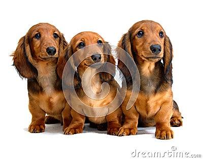 Three Longhair dachshund puppies
