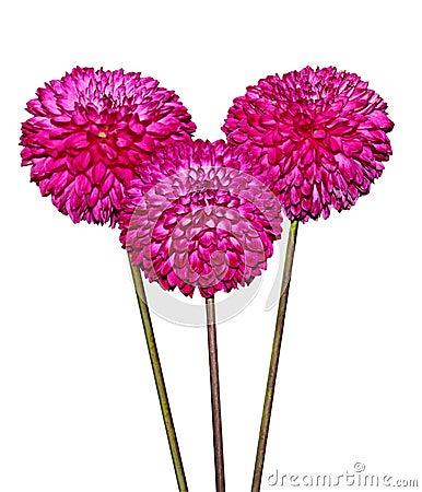 Three Magenta Dahlia Flowers