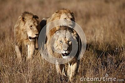 Three Male Lions on the Masai Mara
