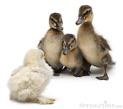 Three Mallards or wild ducks, Anas