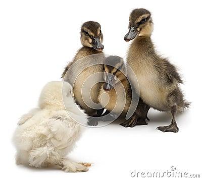 Three Mallards or wild ducks, Anas