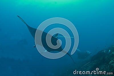 Three manta rays