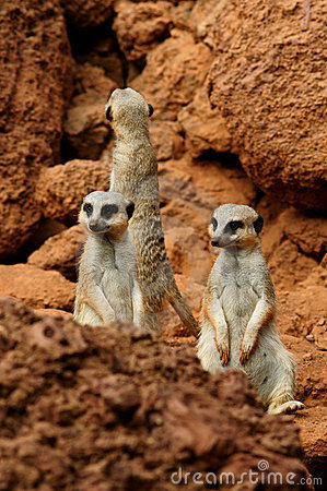 Three meerkat