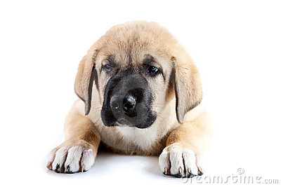 Three-monthly puppy of the Spanish mastiff