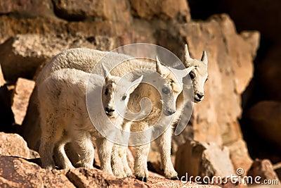 Three Mountain Goat Kids