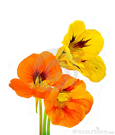 Three nasturtium flower