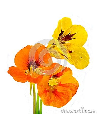 Three nasturtium flower
