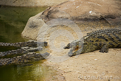 Three Nile Crocodiles Listening to Another Crocodile