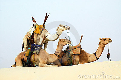 Three nomad camels in the desert