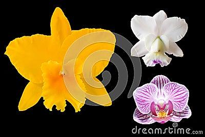 Three odchid flowers