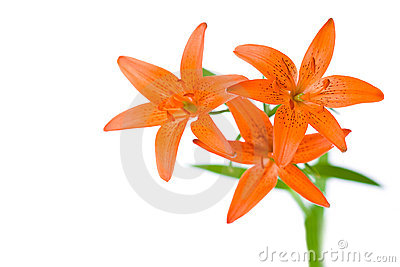 Three orange lily flowers