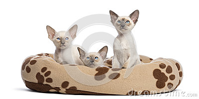 Three Oriental Shorthair kittens, 9 weeks old