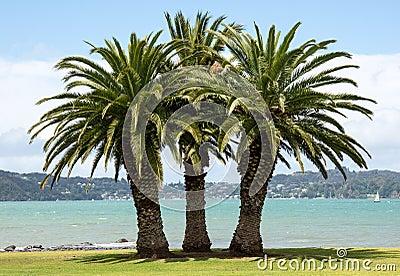 Three palm trees on a grass beach