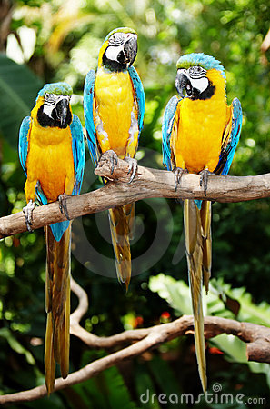Free Three Parrot In Green Rainforest. Royalty Free Stock Photography - 12447747