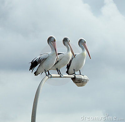 Free Three Pelicans Stock Photos - 15291963