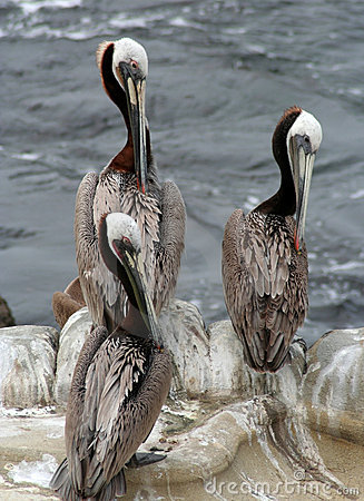 Free Three Pelicans Royalty Free Stock Photos - 774948
