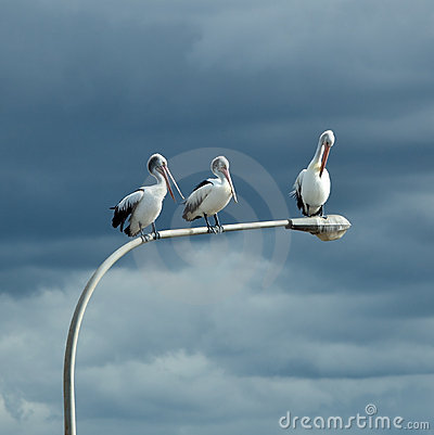 Free Three Pelicans Perched Royalty Free Stock Photography - 15291967