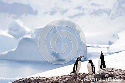 Three penguins