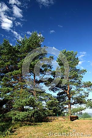Three pine-tree (manor of Pushkin – Mihailovskoe)