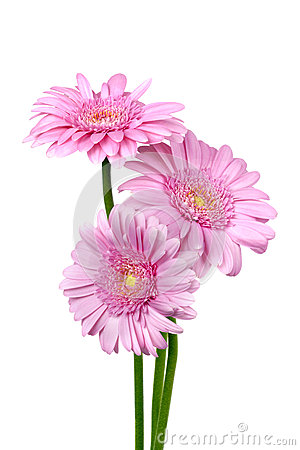 Three Pink Gerber Daisies Isolated