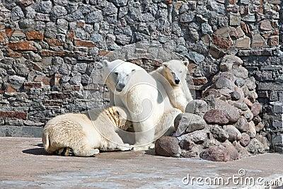 Three polar bears in a zoo