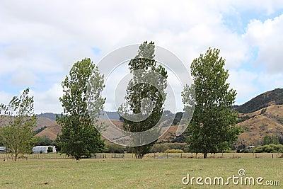 Three poplar trees