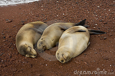 Three pregnant sea lions