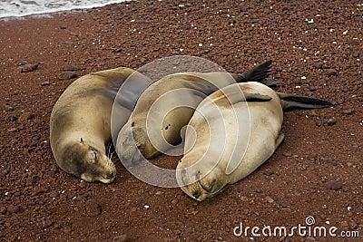 Three pregnant sea lions