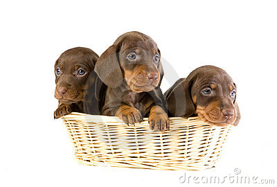 Three puppies in a basket