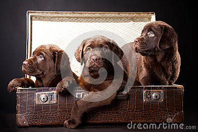 Three puppies in vintage suitcase