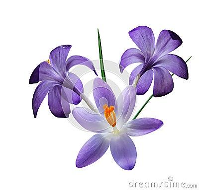 Free Three Purple Crocus Flowers Stock Images - 5023774