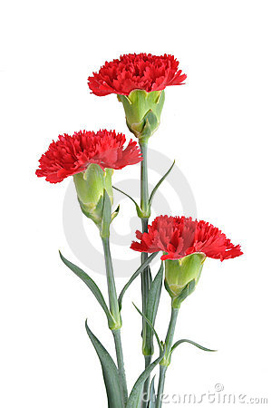 Free Three Red Carnations Royalty Free Stock Photo - 16245525